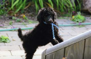 About Top Hat Parti Poodles  Why we breed Standard Poodles,