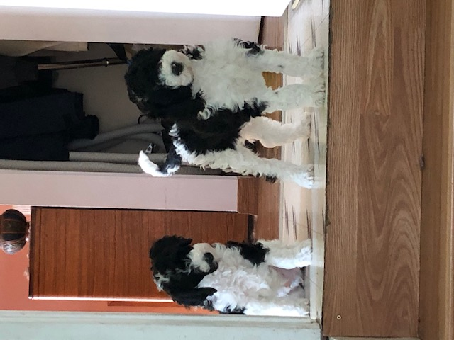 Standard Poodle Puppy Parti Edmonton CKC Registered Health Tested